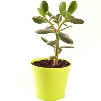 Planta banilor, simbol pentru cresterea averii, 40 cm