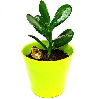 Planta banilor set cu pepita aurie, crassula simbolizeaza cresterea averii, 6 cm